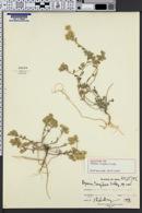 Image of Alyssum turgidum