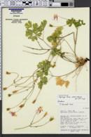 Image of Aquilegia loriae