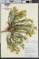 Image of Astragalus avonensis