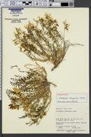 Astragalus debequaeus image