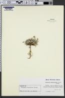 Image of Astragalus drabelliformis