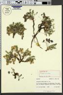 Image of Astragalus montii