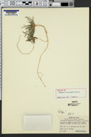 Image of Astragalus monumentalis
