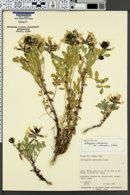 Image of Astragalus sabulosus