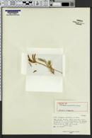 Image of Astragalus spectabilis