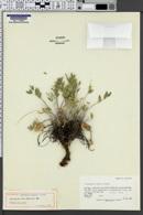 Image of Astragalus welshii