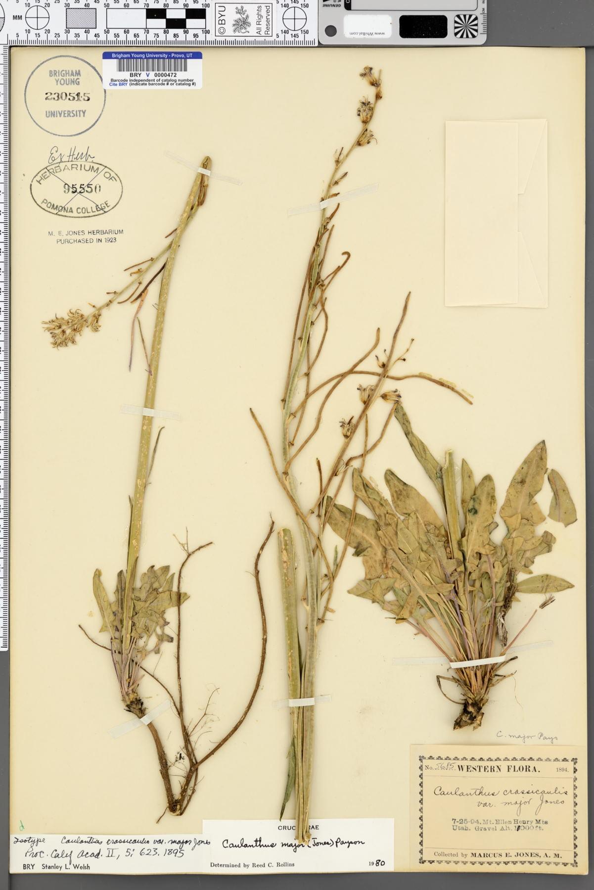 Caulanthus crassicaulis var. major image