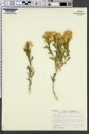 Image of Ericameria x bolanderi