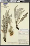 Image of Cirsium barnebyi