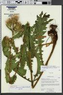 Image of Cirsium joannae