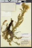Image of Cirsium ownbeyi