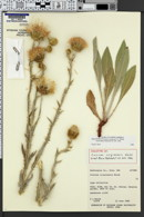 Image of Cirsium virginense