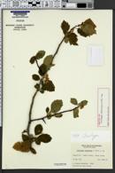 Image of Crataegus douglasii