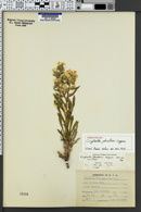 Image of Cryptantha johnstonii