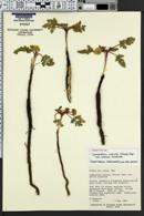 Cymopterus glomeratus image