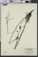 Image of Hackelia ciliata