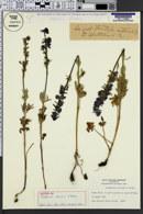 Image of Delphinium strictum