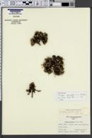 Image of Draba apiculata