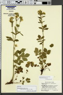 Image of Drymocallis deseretica