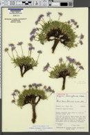 Image of Erigeron carringtoniae