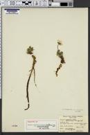 Image of Erigeron consimilis