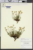 Image of Erigeron nematophyllus