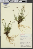 Image of Erigeron zothecinus
