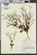Image of Eriogonum aliquantum