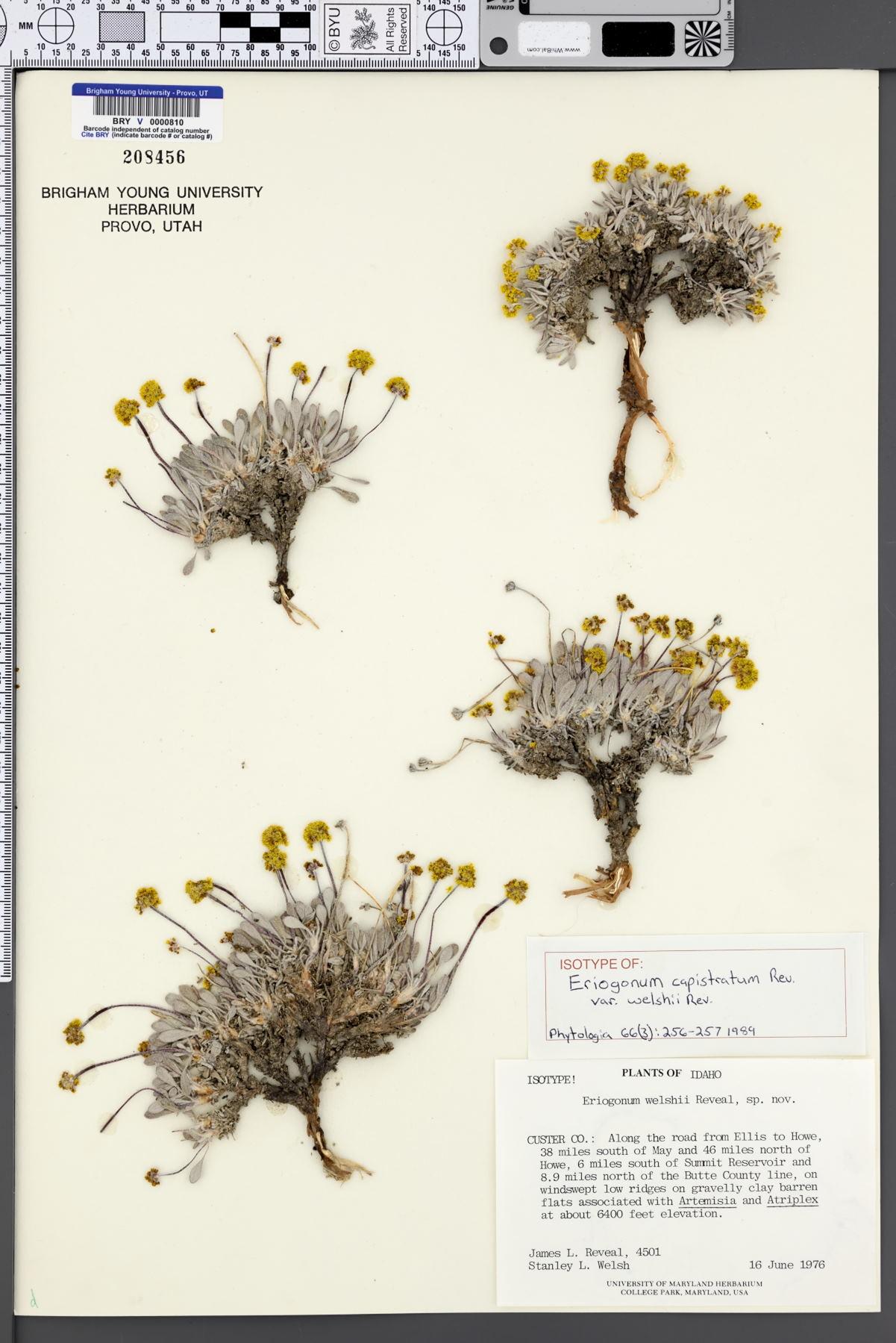 Eriogonum capistratum var. welshii image
