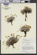 Eriogonum capistratum image