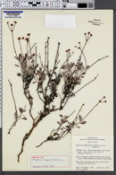 Image of Eriogonum cronquistii