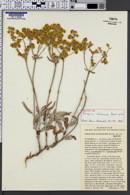 Image of Eriogonum duchesnense
