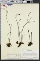 Image of Eriogonum fimbriatum