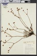 Image of Eriogonum intermontanum
