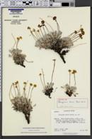 Image of Eriogonum lewisii