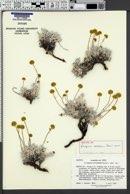 Image of Eriogonum meledonum