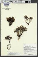 Image of Eriogonum phoeniceum