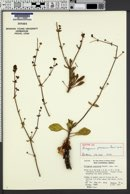 Image of Eriogonum preclarum
