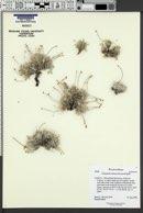 Image of Eriogonum soliceps
