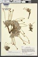 Image of Eriogonum verrucosum
