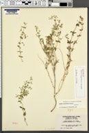Image of Galium magnifolium