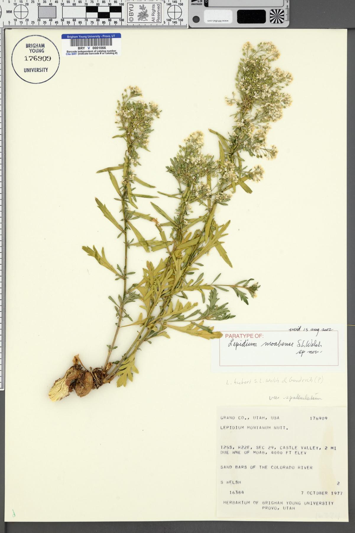 Lepidium moabense image