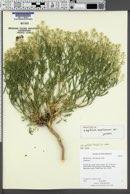 Lepidium montanum var. jonesii image