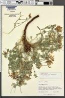 Lotus mearnsii var. equisolensis image