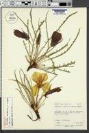 Image of Oenothera acutissima