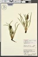 Oenothera acutissima image