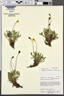 Image of Papaver uintaense