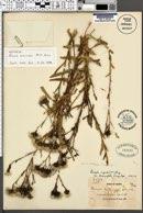 Image of Acourtia fruticosa