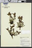 Image of Phacelia argylensis