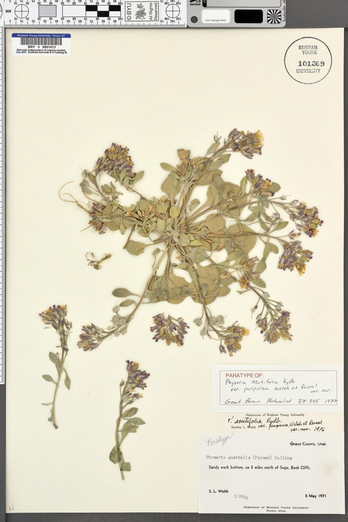 Physaria acutifolia var. purpurea image